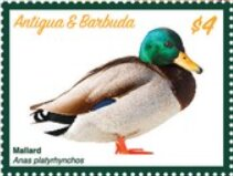 Stamp, Mallard Duck (Anas platyrhynchos), Antigua and Barbuda,  , Animals (Fauna), Birds, Ducks
