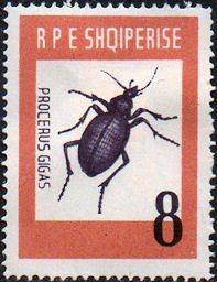Ground Beetle (Carabus gigas)