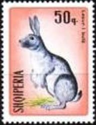 Domestic Rabbit (Oryctolagus cuniculus domesticus)