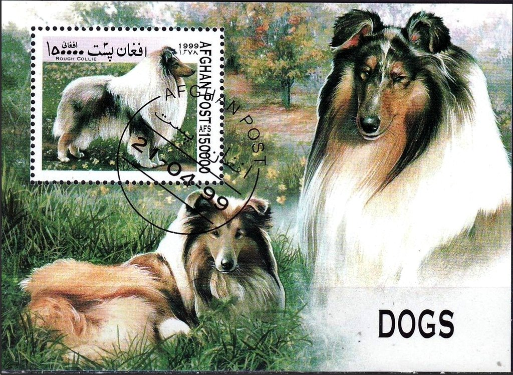Rough Collie (Canis lupus familiaris)