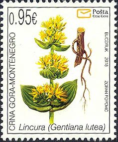 Flora - Great Yellow Gentian (Gentiana Lutea)