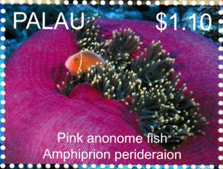 Pink anemone fish (Amphiprion perideraion)